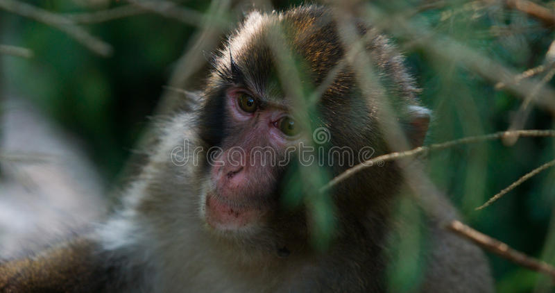 Hiding Monkey stock images