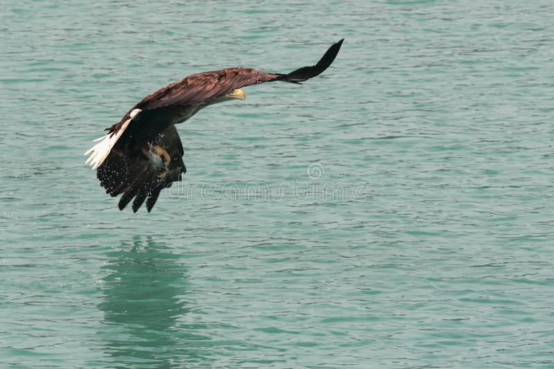 Hiding the prey still dropping water. Sea eagle hiding a prey under the wings , Lofoten islands, arctic archipelago situated in northern Norway stock images