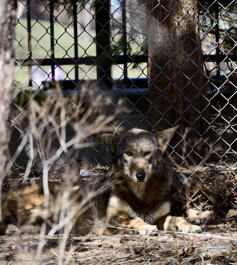 A Hiding Red Wolf. This is an early Spring picture of a Red Wolf attempting to hide in its compound at the Lincoln Park Zoo located in Chicago, Illinois in Cook royalty free stock photo