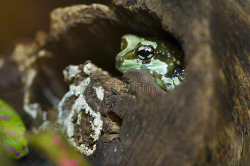 Hiding tropical frog