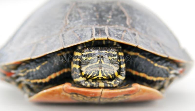 Hiding Turtle Stock Photos
