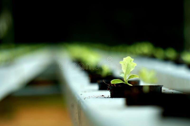 Hidro cultivo fônico das alfaces foto de stock