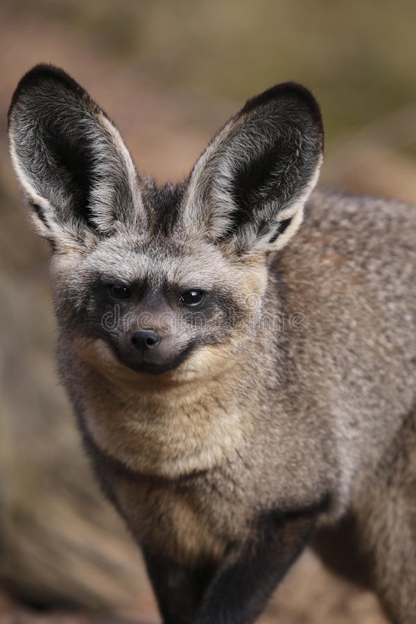 Hieb-ohriger Fuchs stockfotos