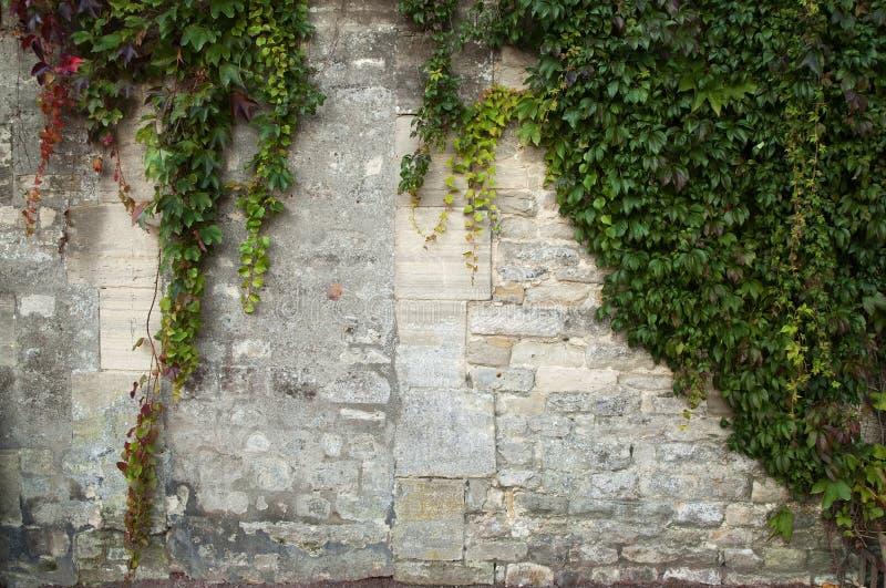 Hiedra con colores del otoño contra una pared medieval foto de archivo libre de regalías