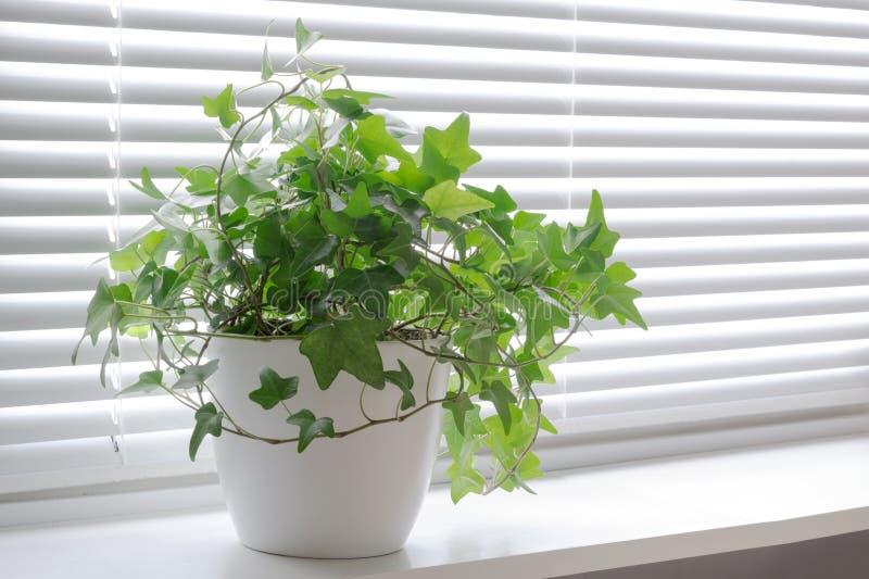 Hiedra del Hedera de la flor en blanco un pote en el alféizar ligero Flor interior para el concepto de la oficina