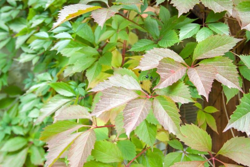 Hiedra en árbol en otoño fotos de archivo