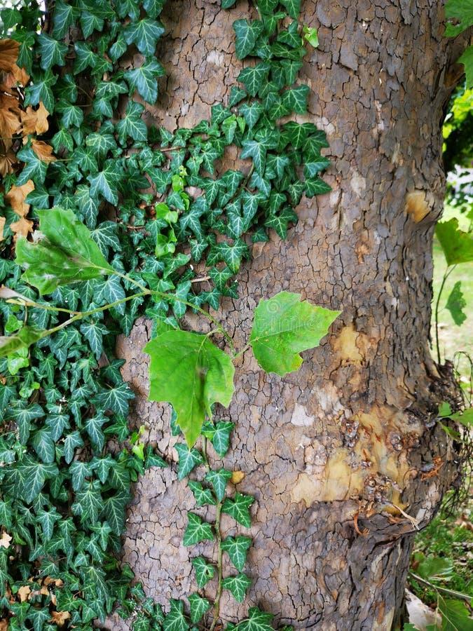 Hiedra en caída de las hojas del verde del tronco de árbol imagen de archivo libre de regalías