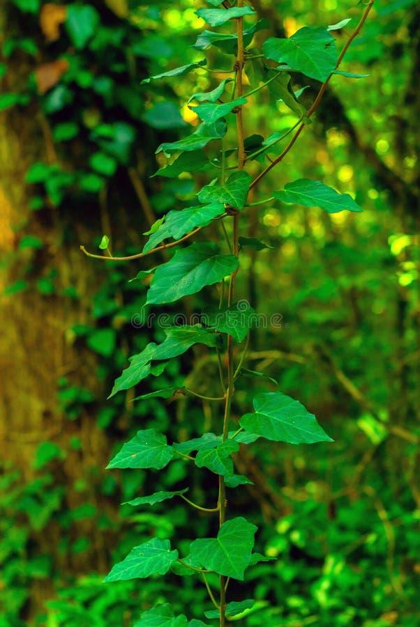 Hiedra en el bosque subtropical fotos de archivo