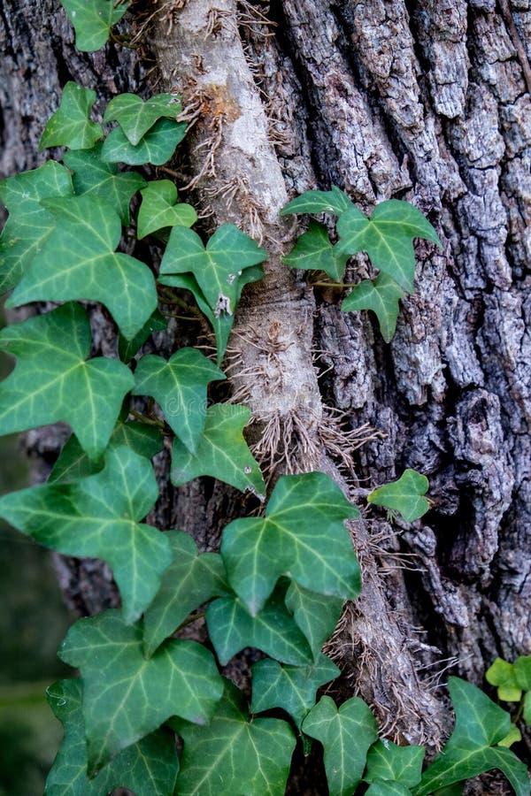 Hiedra inglesa en árbol foto de archivo