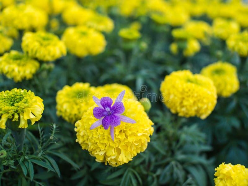 Hiedra púrpura en Calendul amarillo imágenes de archivo libres de regalías