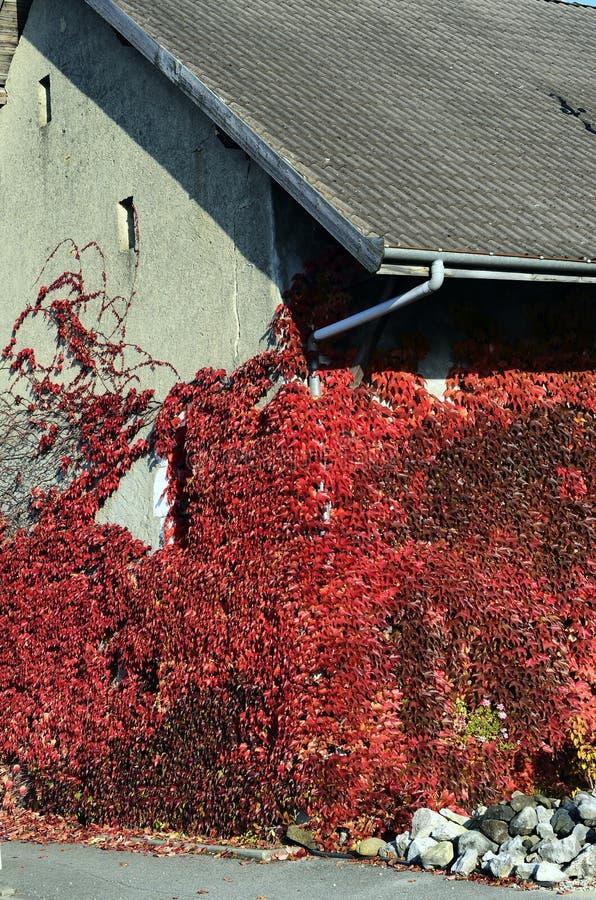 Hiedra que sube roja en el edificio viejo fotos de archivo