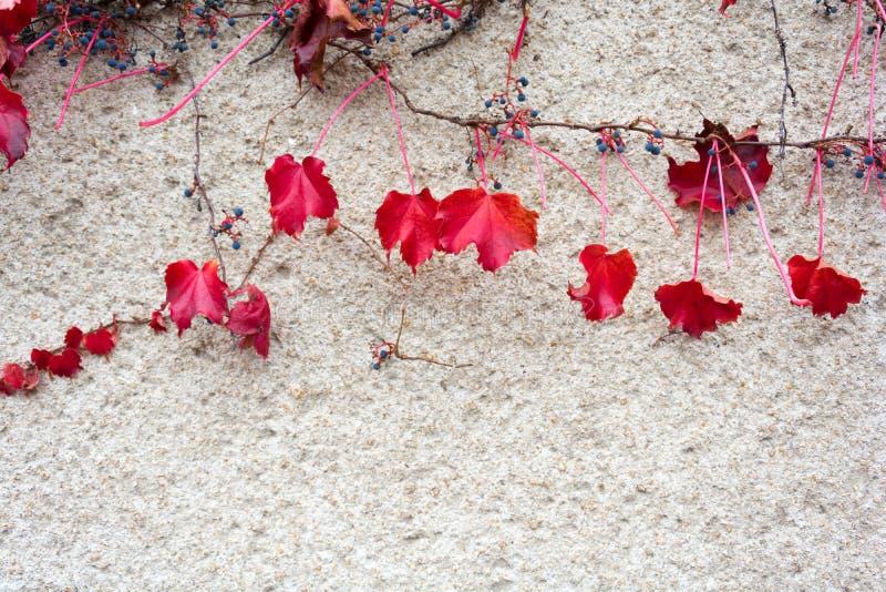 Hiedra roja del otoño en el yeso de la pared fotos de archivo