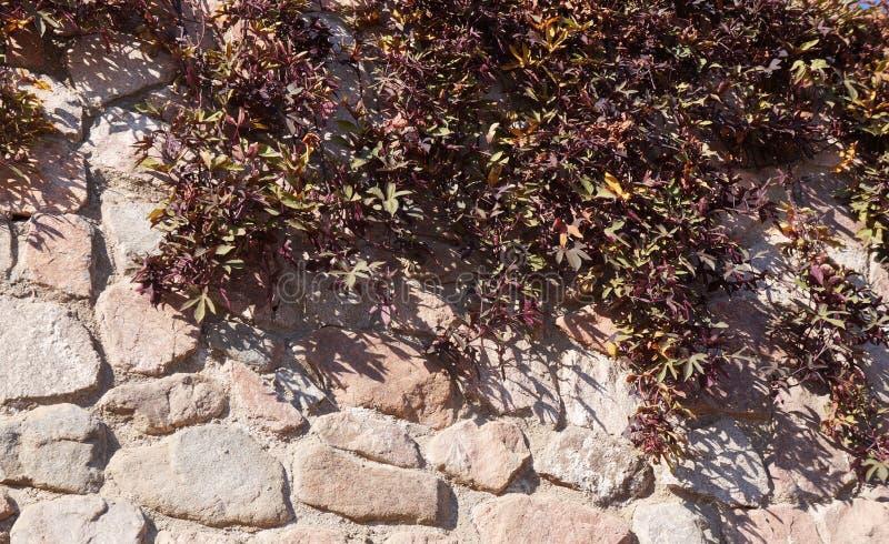 Hiedra roja en la pared de piedra imagen de archivo