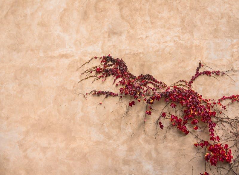 Hiedra roja en la pared vieja foto de archivo libre de regalías