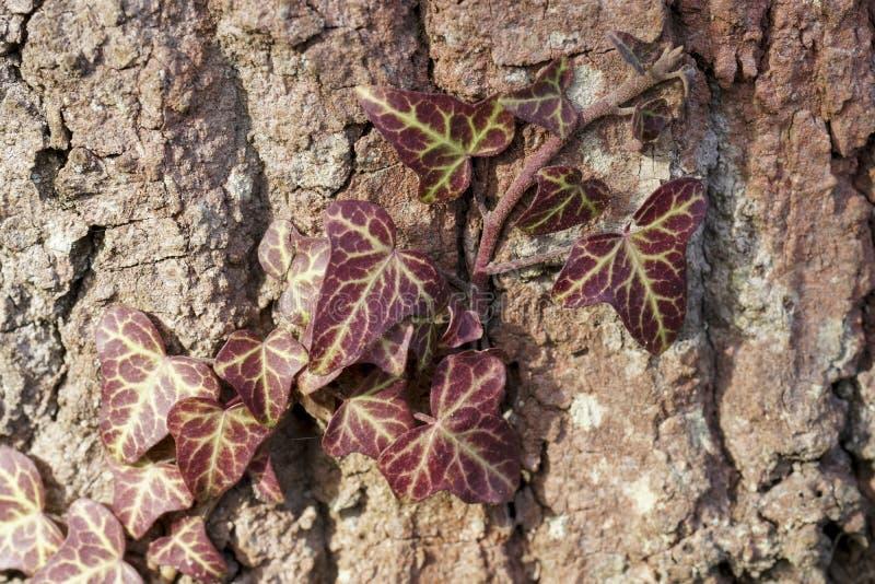 Hiedra roja en un tronco de árbol marrón foto de archivo libre de regalías