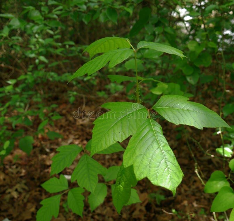Hiedra venenosa dispersada en el piso del bosque fotografía de archivo libre de regalías