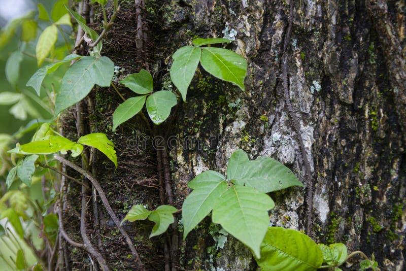 Hiedra venenosa que crece un árbol maduro en el bosque imagen de archivo