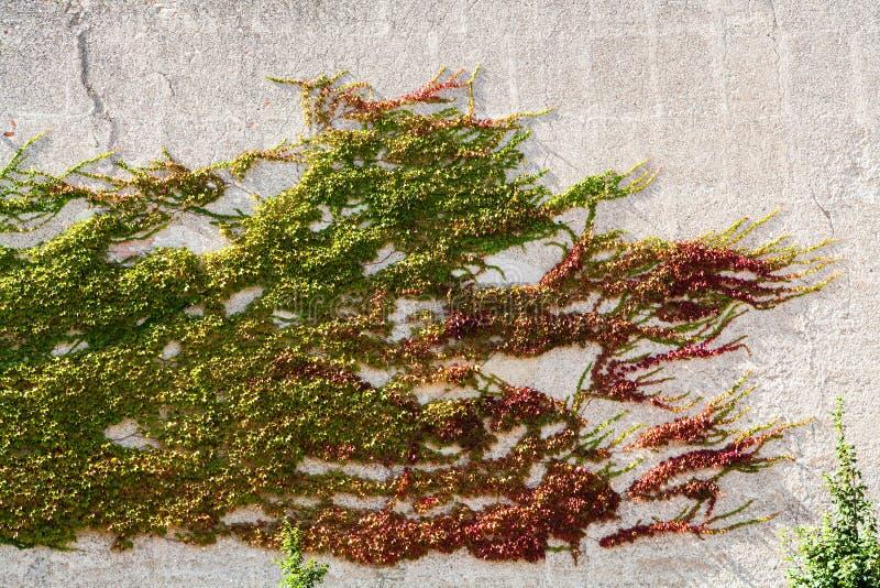 Hiedra verde, amarilla, roja en la pared enyesada en otoño imagen de archivo libre de regalías