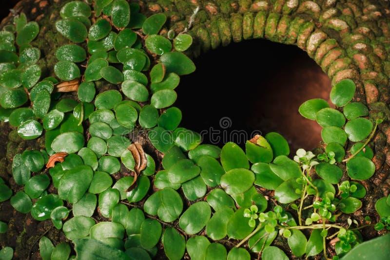 Hiedra verde en el tarro de cerámica de la decoración del jardín , Estilos decorativos caseros y al aire libre que cultivan un hu fotos de archivo libres de regalías
