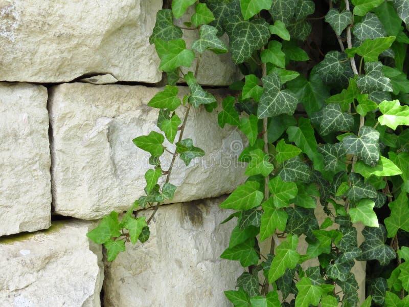 Hiedra verde en la pared hecha de los bloques de piedra blancos conveniente para el fondo o el papel pintado ladrillo imágenes de archivo libres de regalías