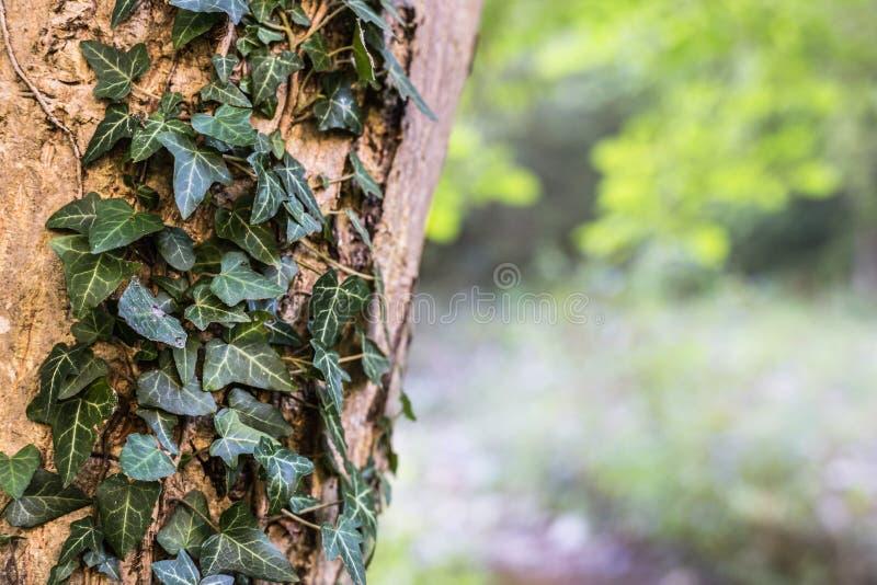 Hiedra verde en un árbol en los colores del otoño imagenes de archivo