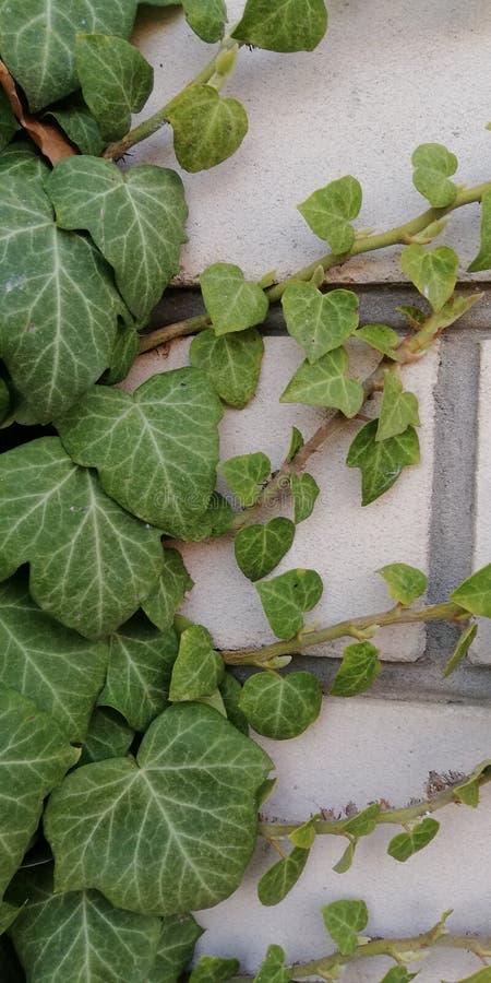 hiedra verde en una pared de ladrillo Textura del contraste Planta viva y piedra muerta Fondo simb?lico foto de archivo libre de regalías