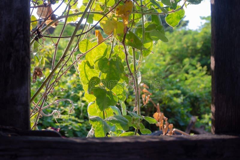 Hiedra verde fresca en las plantas verdes borrosas con el marco de madera para el fondo fotografía de archivo
