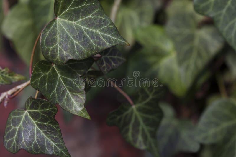 Hiedra verde que crece en una pared de ladrillo roja foto de archivo