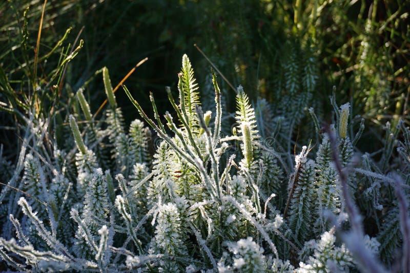 Hielo en las plantas fotografía de archivo libre de regalías