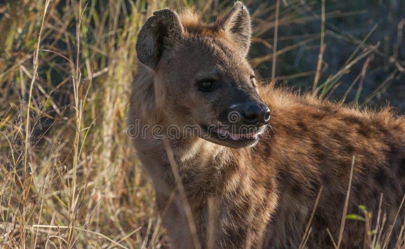 hiena zdjęcie stock