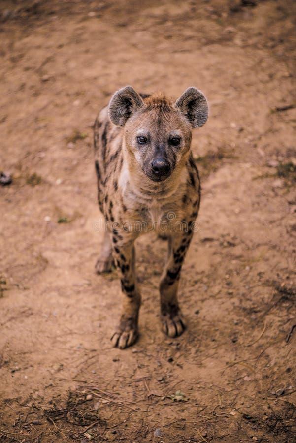 Hiena africana en parque zoológico fotografía de archivo