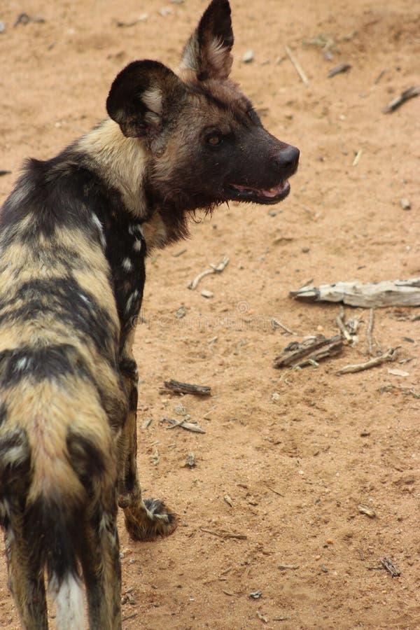 Hiena chwytająca w Namibia obraz royalty free