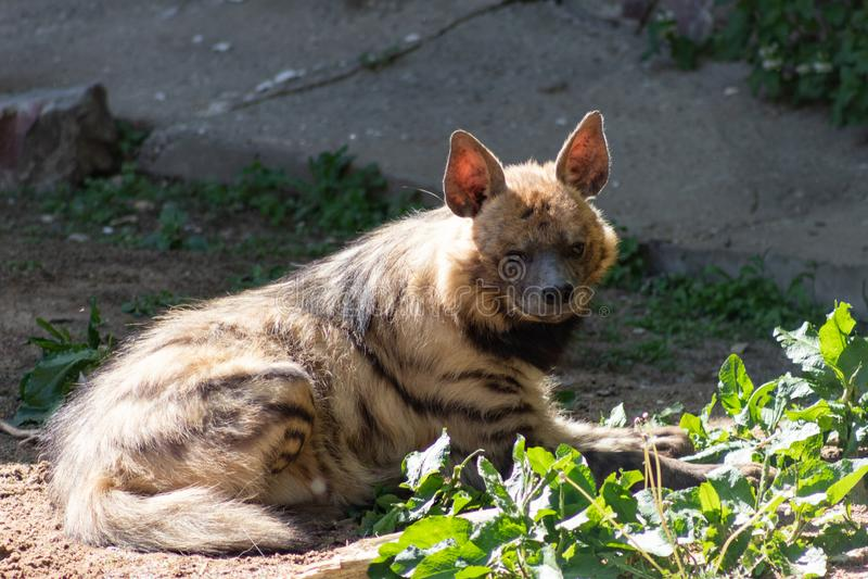 Hiena da hiena listrada um animal raro no perigo da extinção, tomando sol na primavera sol no jardim zoológico de Moscou imagem de stock