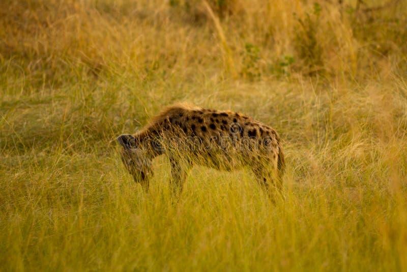 Hiena de mara do Masai fotos de stock royalty free