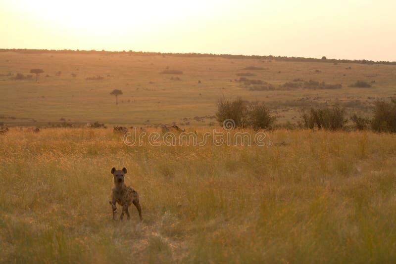 Hiena de mara do Masai imagem de stock royalty free