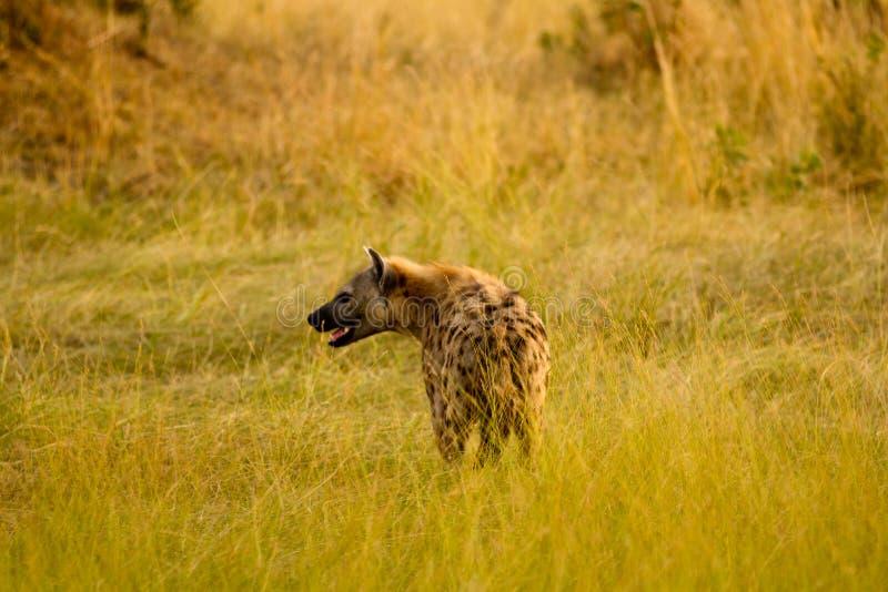 Hiena de mara do Masai imagens de stock royalty free