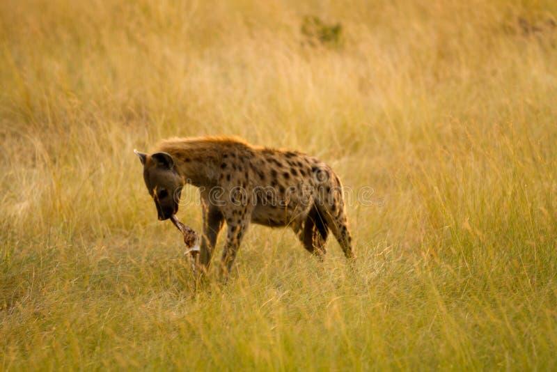 Hiena de mara do Masai fotografia de stock