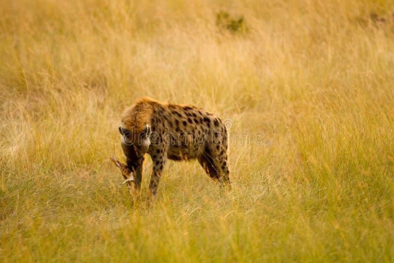 Hiena de mara do Masai imagens de stock