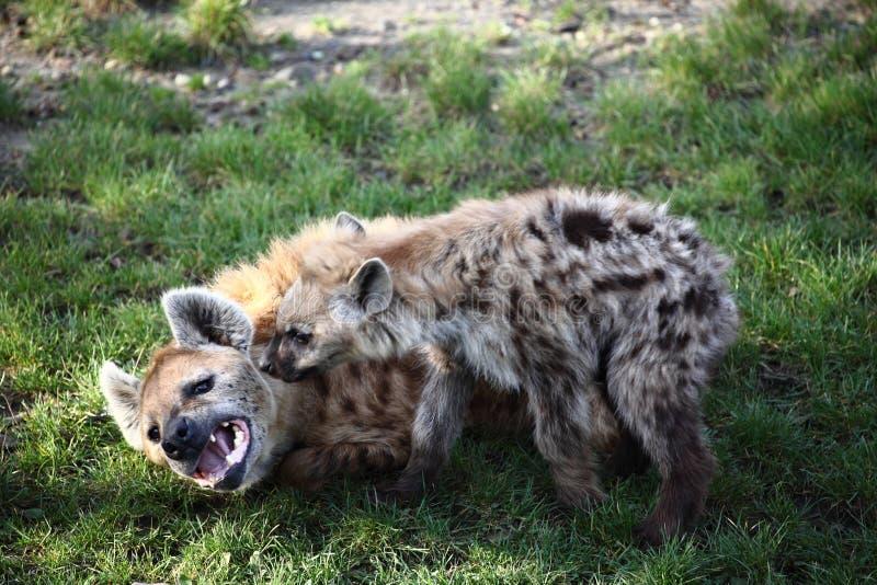 Hiena do animal malhado com filhote de cachorro fotos de stock royalty free