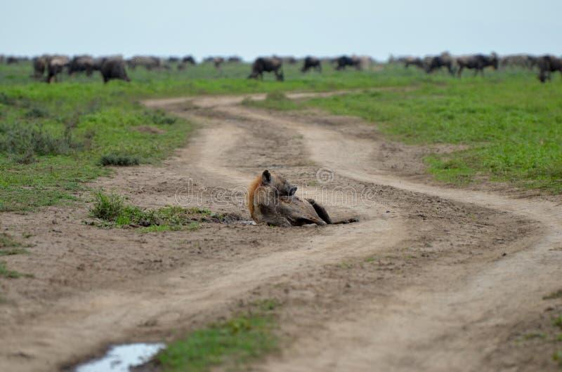Hiena en Serengeti foto de archivo libre de regalías