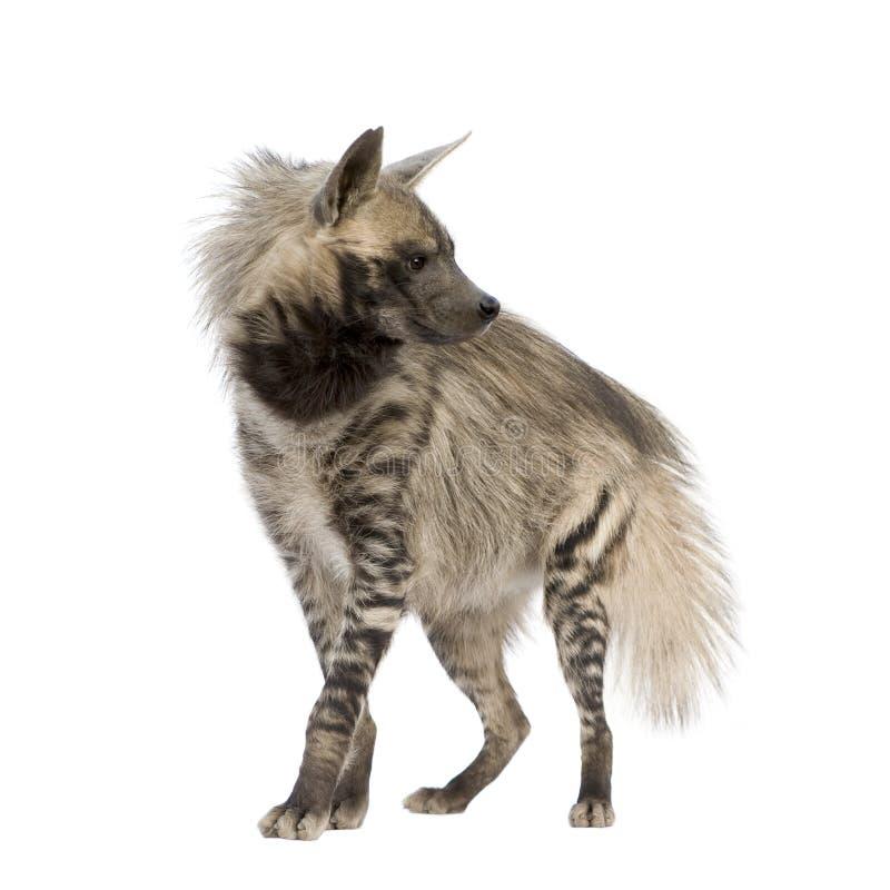 hiena hyaena paskująca fotografia stock