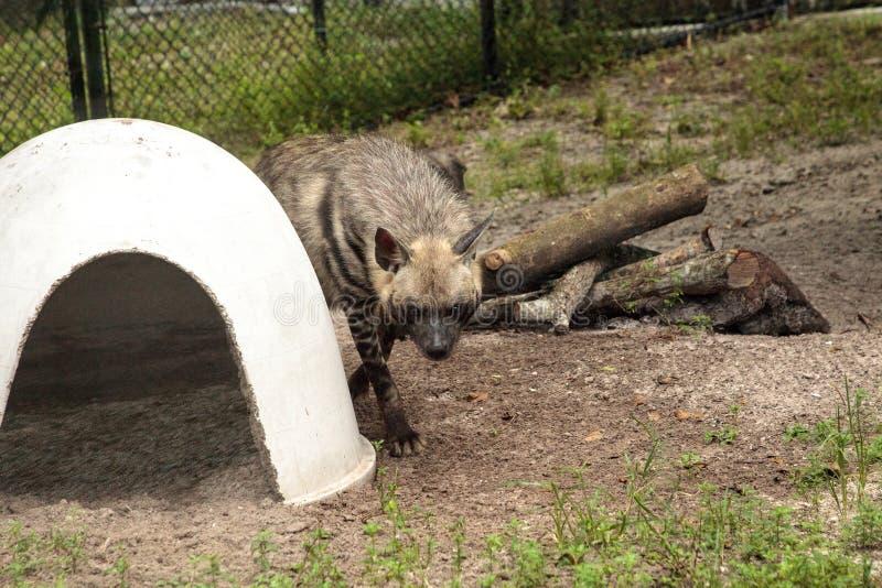 A hiena listrada chamou o hyaena de Hyaena fotos de stock royalty free