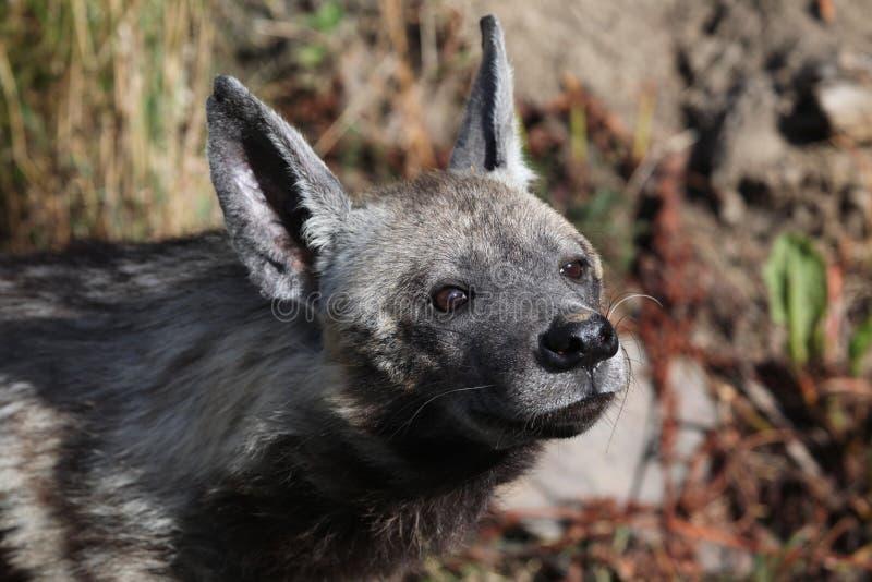 Hiena listrada (hyaena de Hyaena) fotografia de stock royalty free