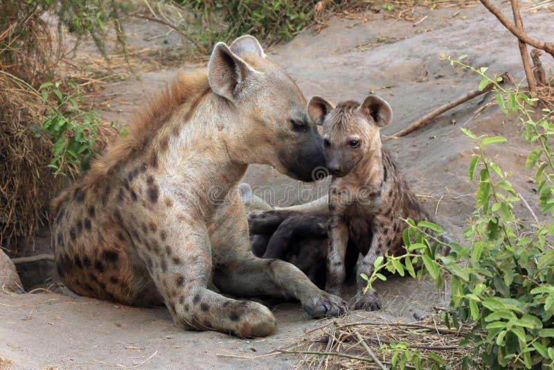 Hiena manchada con Cubs fotos de archivo libres de regalías
