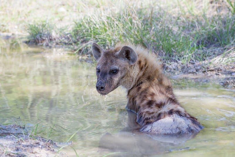Hiena manchada que miente en una piscina del fango imagen de archivo libre de regalías