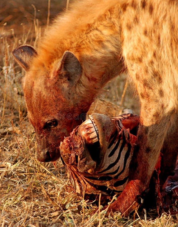 Hiena que come la cebra imagen de archivo libre de regalías