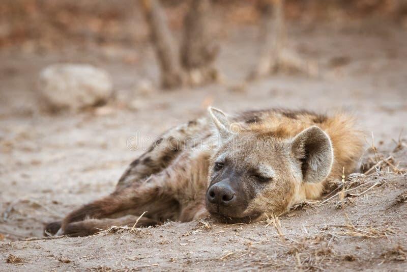 Hiena sola que duerme cerca de su guarida imágenes de archivo libres de regalías
