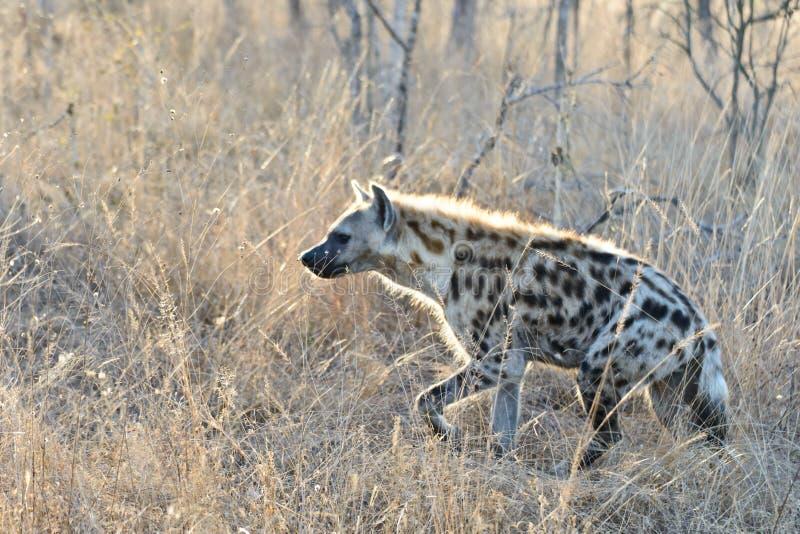 Hiena w moring świetle słonecznym obraz royalty free