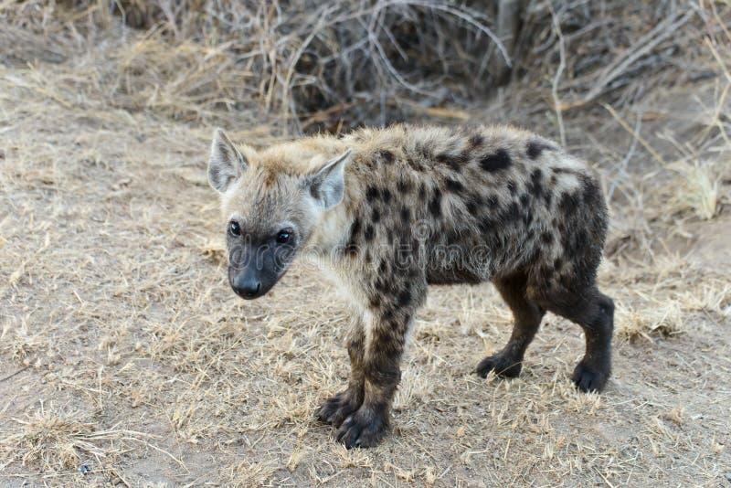 Hiena z jaskrawymi ayes fotografia stock