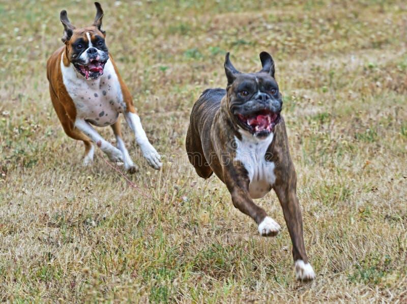 Hier kommt sie, die Boxer, die durch ein Feld HDR laufen lizenzfreie stockfotografie